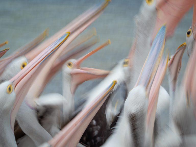 Pelicans on Kangaroo Island